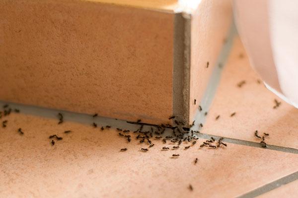 evde karınca